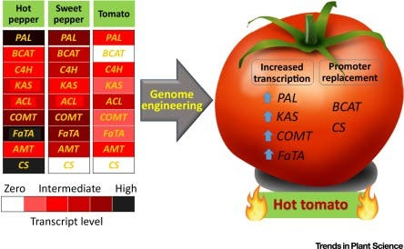 Transcriptional profile of genes related to the metabolism of pungency in hot pepper, sweet pepper, and tomato. Credit: Trends in Plant Science.