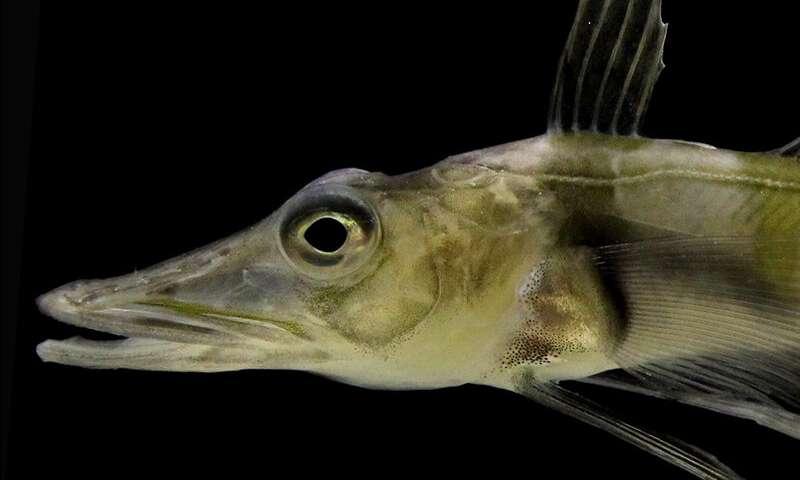 Tokyo aquarium exhibits Antarctic icefish with see-through ...  |Antarctic Icefish