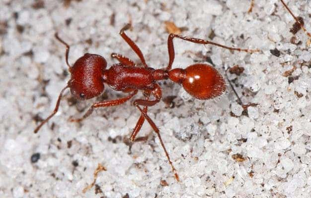 Florida Harvester Ant.