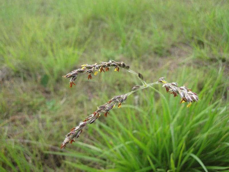 Alloteropsis semialata flowers.