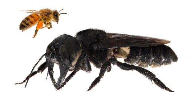 Wallace's giant bee is about four times larger than a honeybee. Credit: Global Wildlife Conservation.