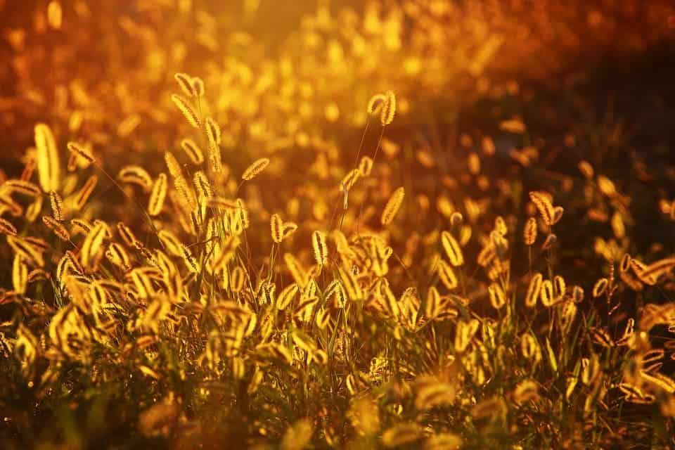 Foxtail grass.