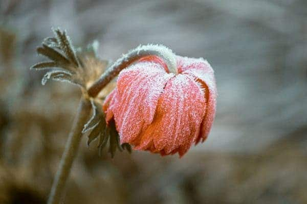 Frozen flower.