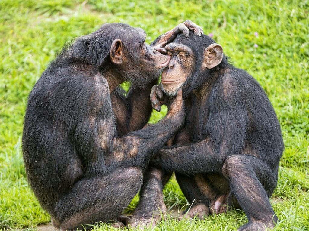 Chimpanzees grooming.