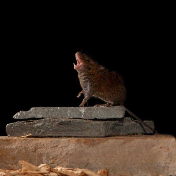 Singing mouse.