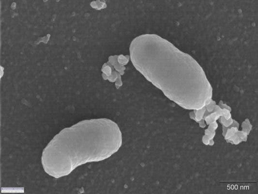 Burkholderia ambifaria. Credit: Genome Portal.