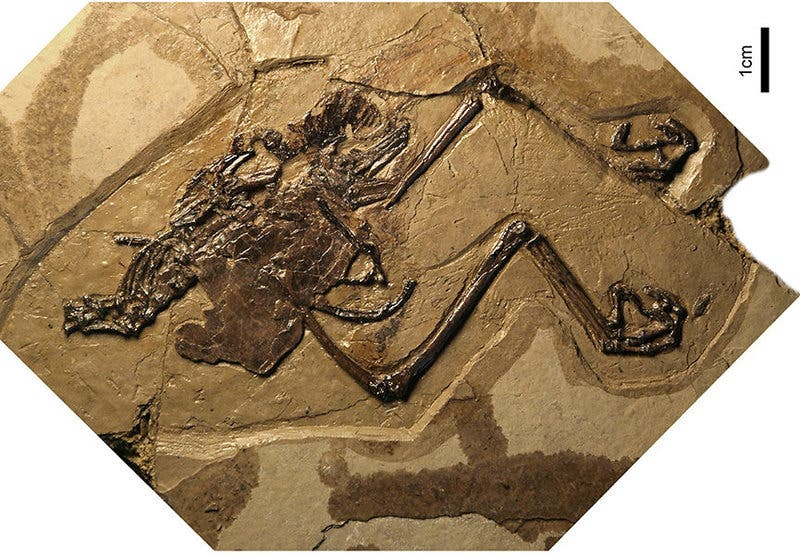 Photograph of the holotype of Avimaia schweitzerae. Credit: Barbara Marrs.