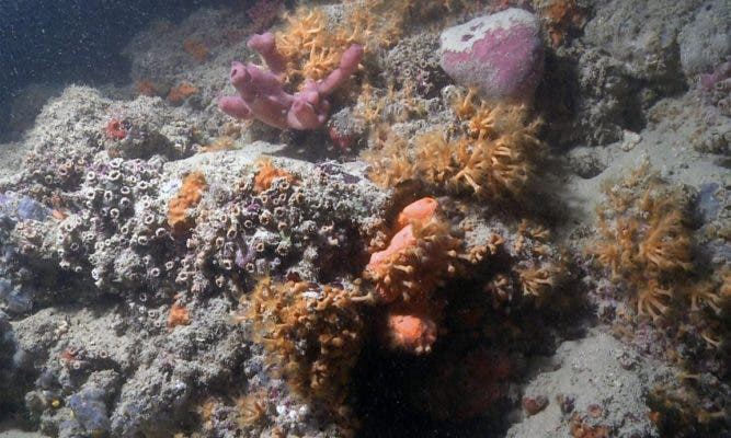 Image of Italy's newly discovered mesophotic coral reef. Credit: Scientific Reports.