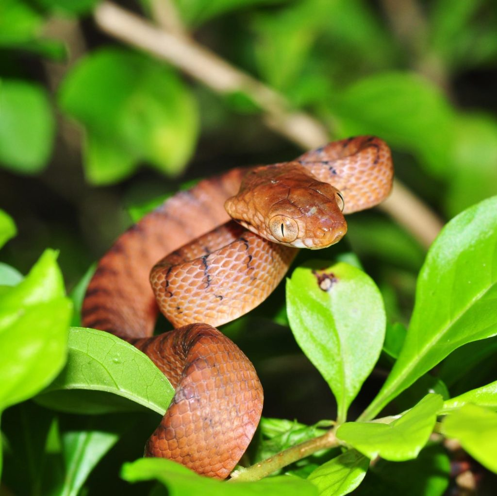 The brown tree snakes (Boiga irregularis) devastated native populations in Guam. Credit: P Krillow.
