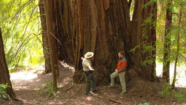 California redwoods. Credit: CBS This Morning.