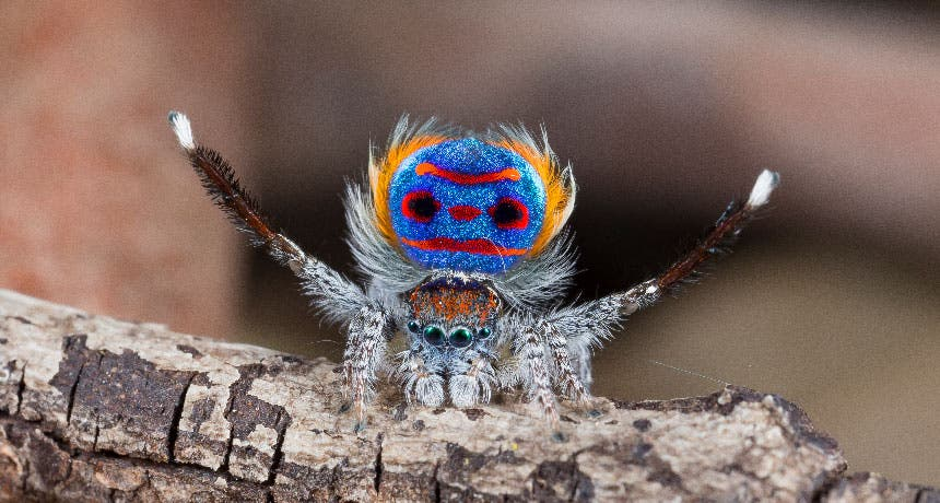 These spiders have super black patches to help their other