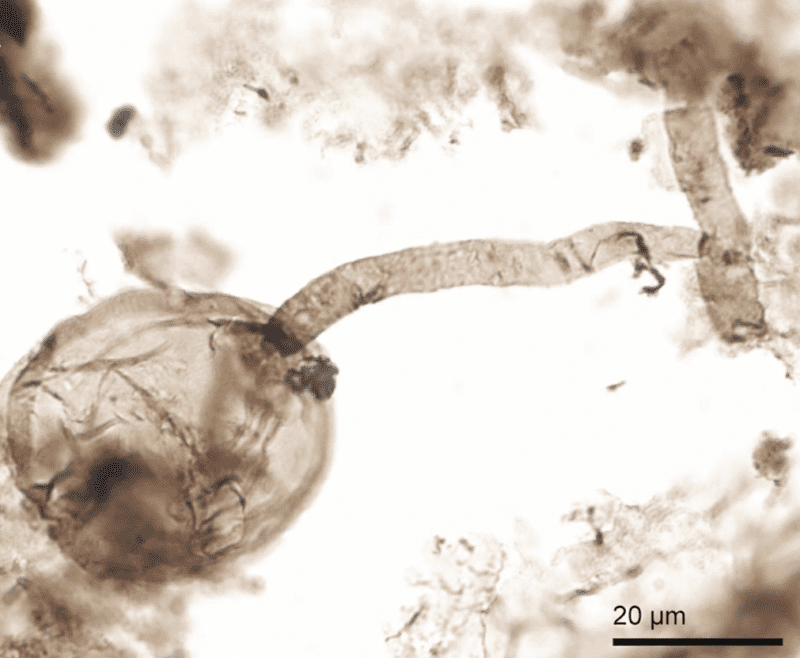 Microscope image of the billion-year-old fungi discovered in Canada's Arctic coast. Credit: Corentin Loron.