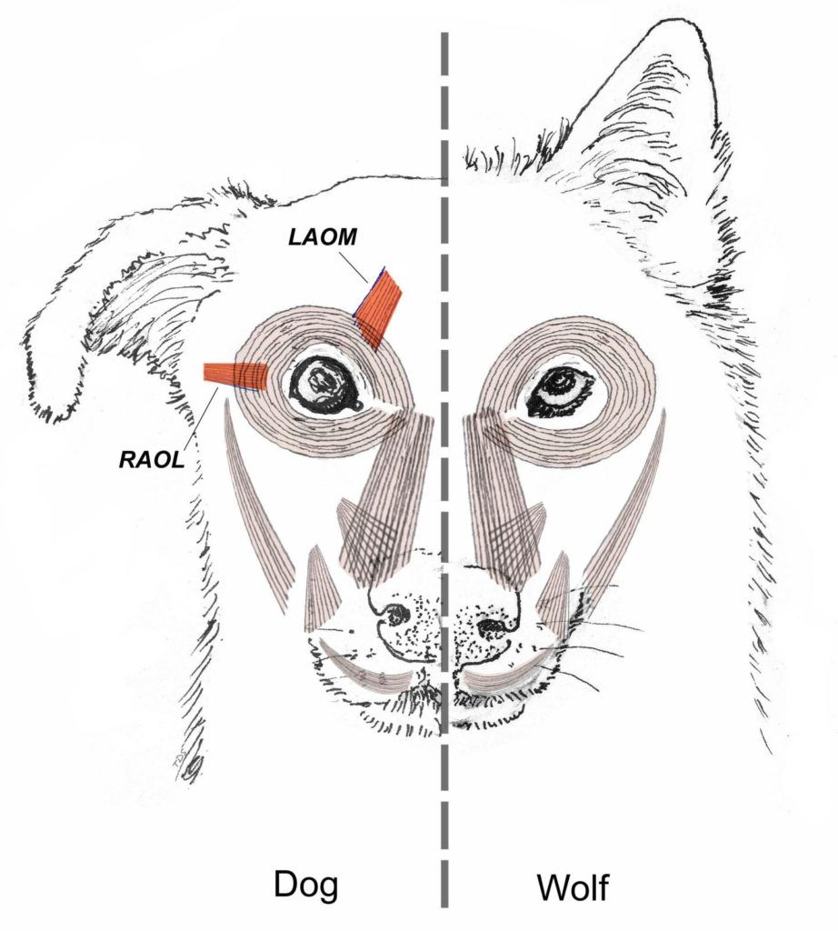 Red highlights the anatomical differences in ocular musculature between the two species. Credit: PNAS.