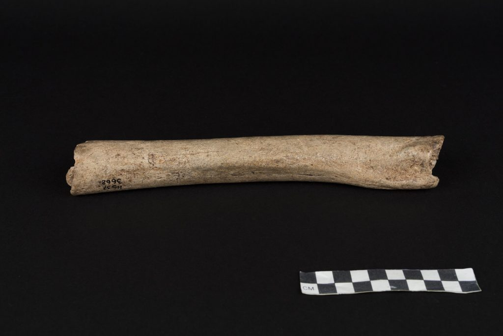 The femur of a male Neandertal from Hohlenstein-Stadel Cave, Germany. Credit: Oleg Kuchar, Museum Ulm.