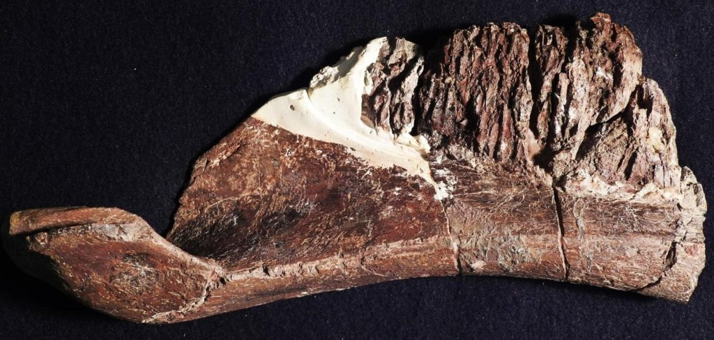 The dentary of Aquilarhinus, showing the unusual upturned end of the mandible. Credit: Albert Prieto-Marquez.