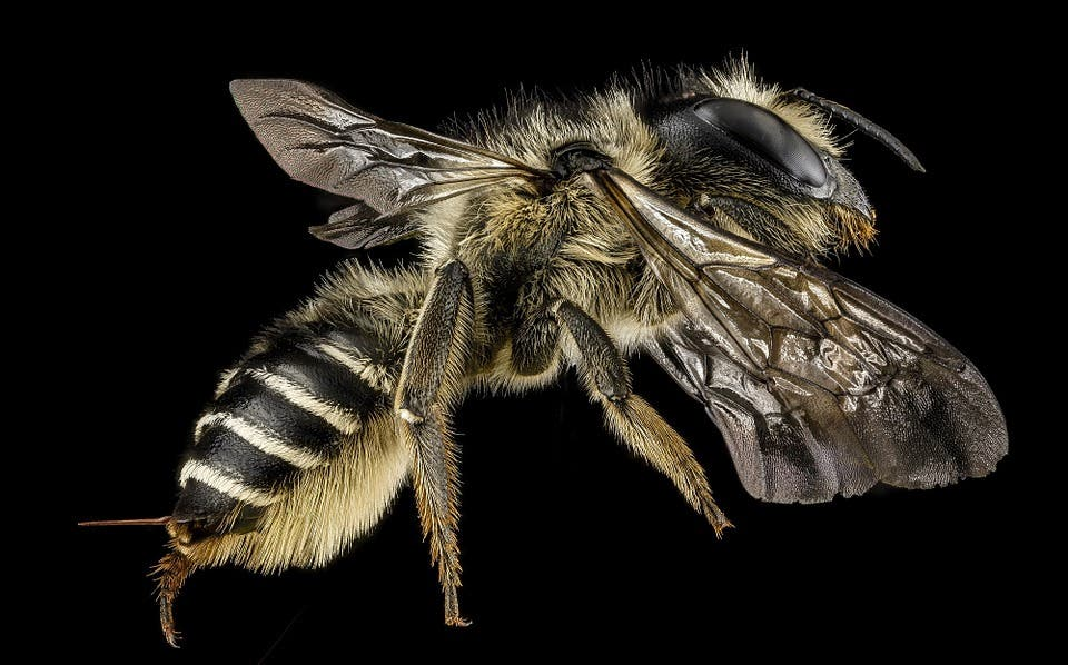 Leafcutter bee.