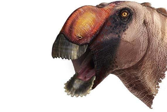 Aquilarhinus palimentus. Credit: ICRA Art.
