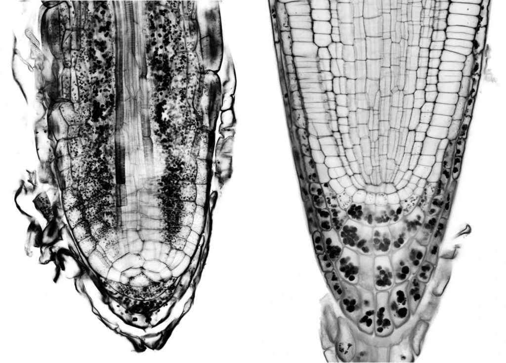 Amyloplasts are filled with strach granules (black dots). The organelles are seen her in the root of a fern (left) and that of a seed and flowering plant (right). In the latter, the amyloplasts gather at the very bottom of the root tip, enabling more efficient gravitropism. Credit: IST Austria.