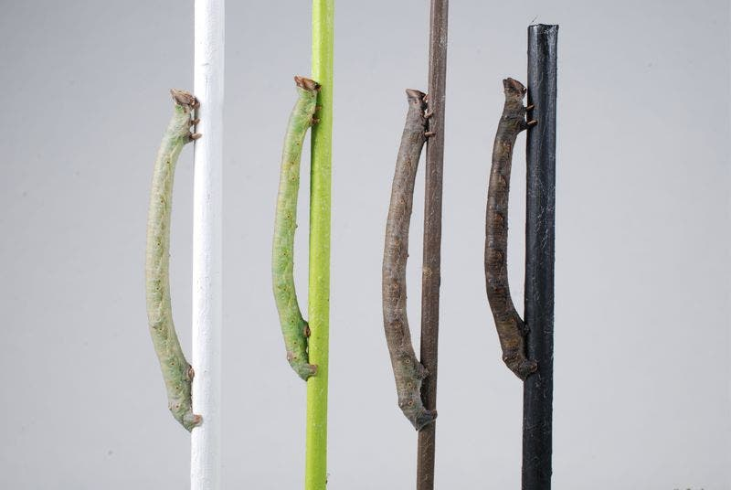 Caterpillars of the peppered moth can sense the color of twigs with their skin. Credit: Arjen van't Hof, University of Liverpoool.