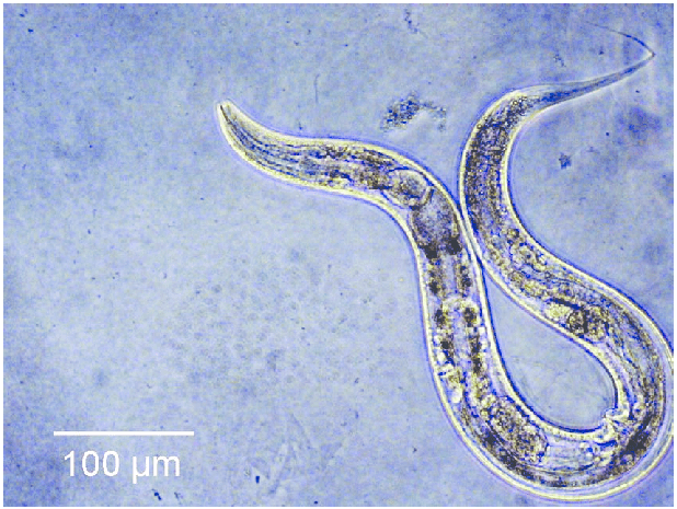 Scientists increase worm's lifespan by 500%