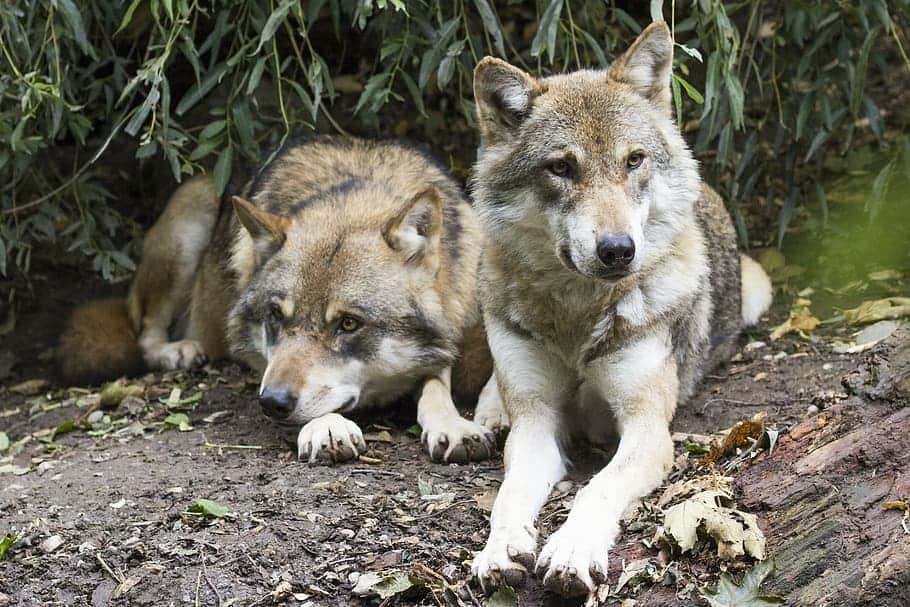 Wolves regurgitate berries for their pups to eat
