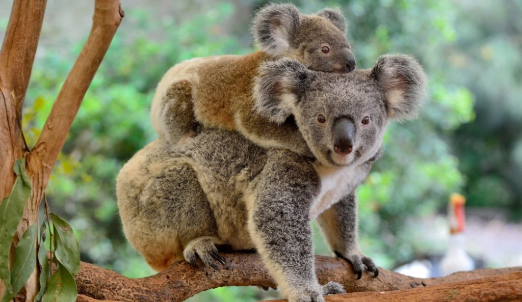 Koalas Are Facing The Threat Of Extinction After Australia S Forest Fires Ngo Claims