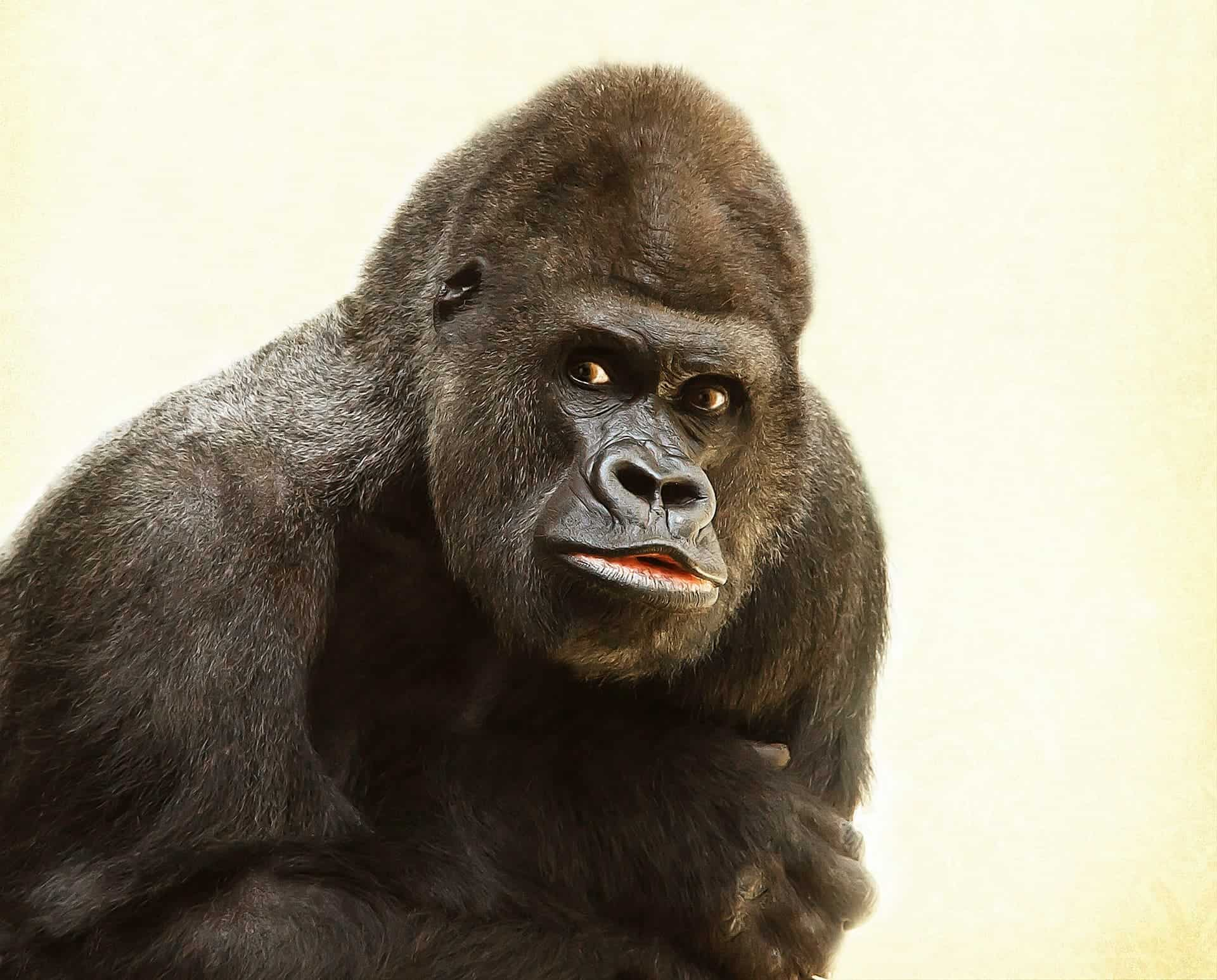 Gorillas and humans treat their territory the same way, study finds