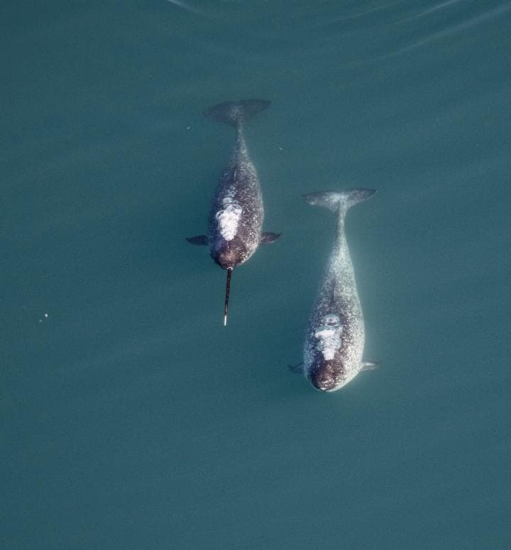 When it comes to narwhal sexual selection, tusk size matters