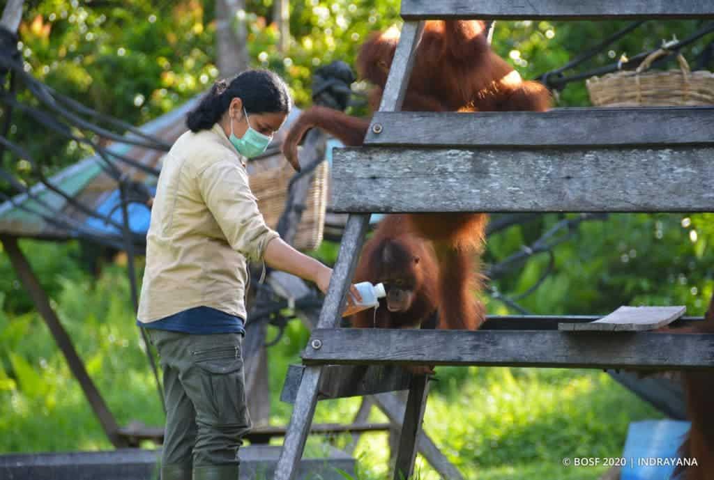 Коронавирус добавляет новую угрозу для орангутанов в Индонезии thumbnail