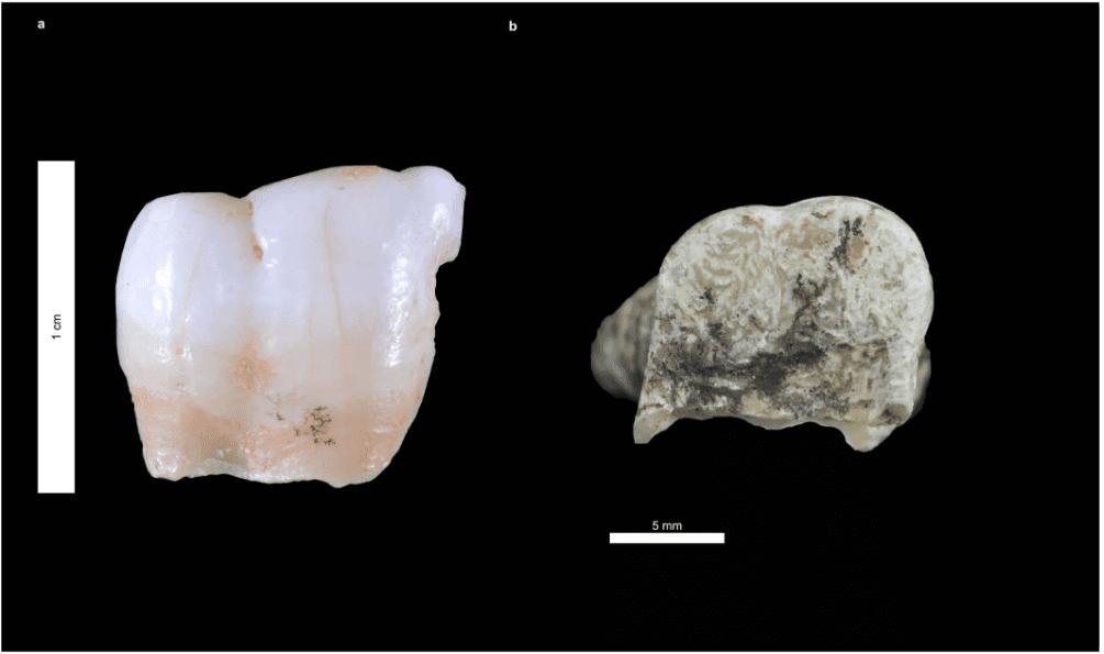 Исследователи получают самую древнюю ДНК человека из древнего зуба thumbnail