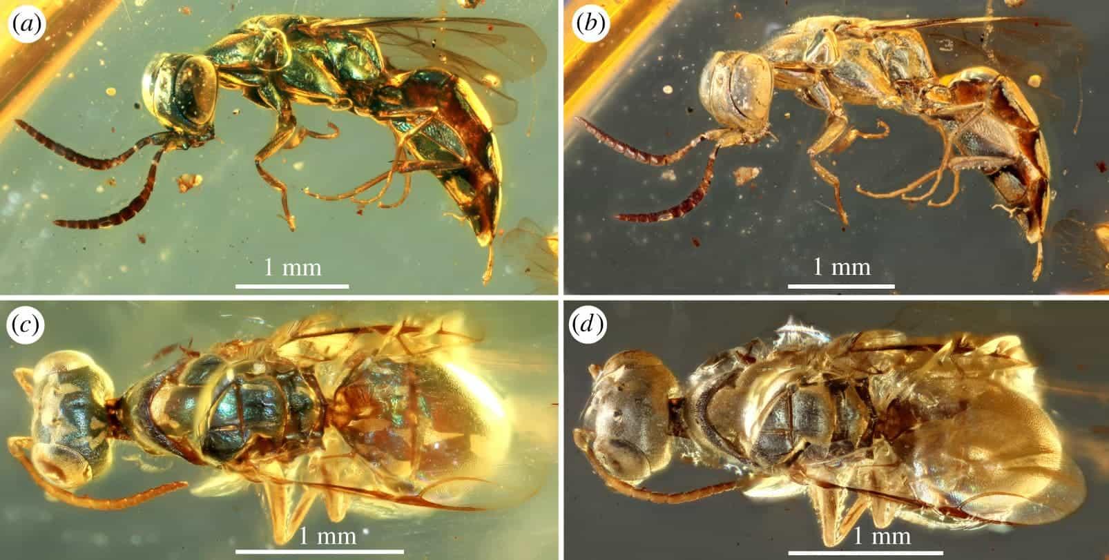 Окаменелости янтаря раскрывают истинные цвета насекомых возрастом 99 миллионов лет thumbnail