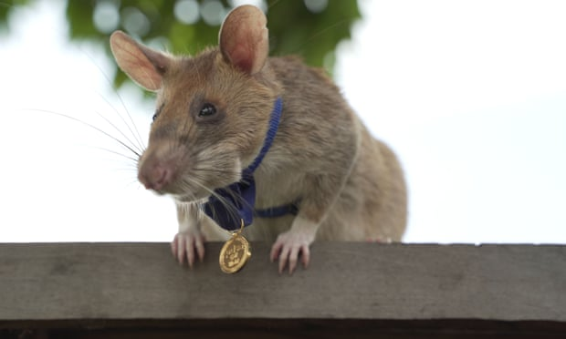 Meet Magawa, the Hero Rat awarded bravery medal for clearing landmines