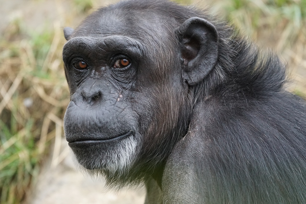 Humans live much longer than chimps due to a slower epigenetic 'clock' - ZME Science