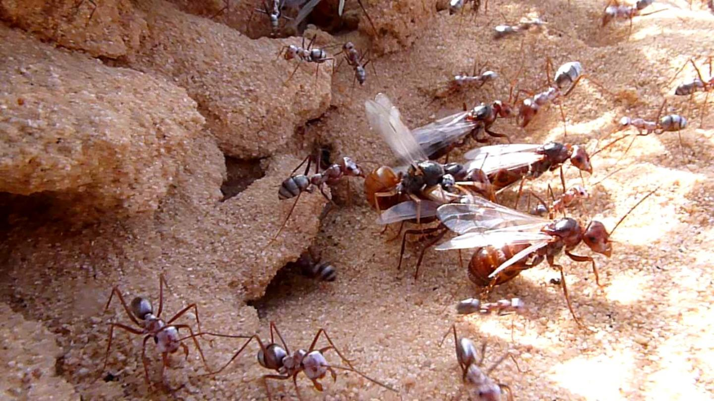 How ants grew super-strong muscles after losing their wings