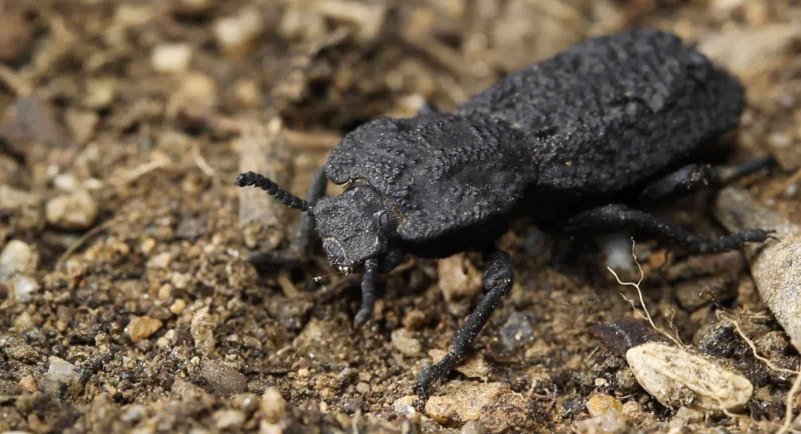 This beetle's armor can survive being run over by a car. Here's why it's nearly indestructible
