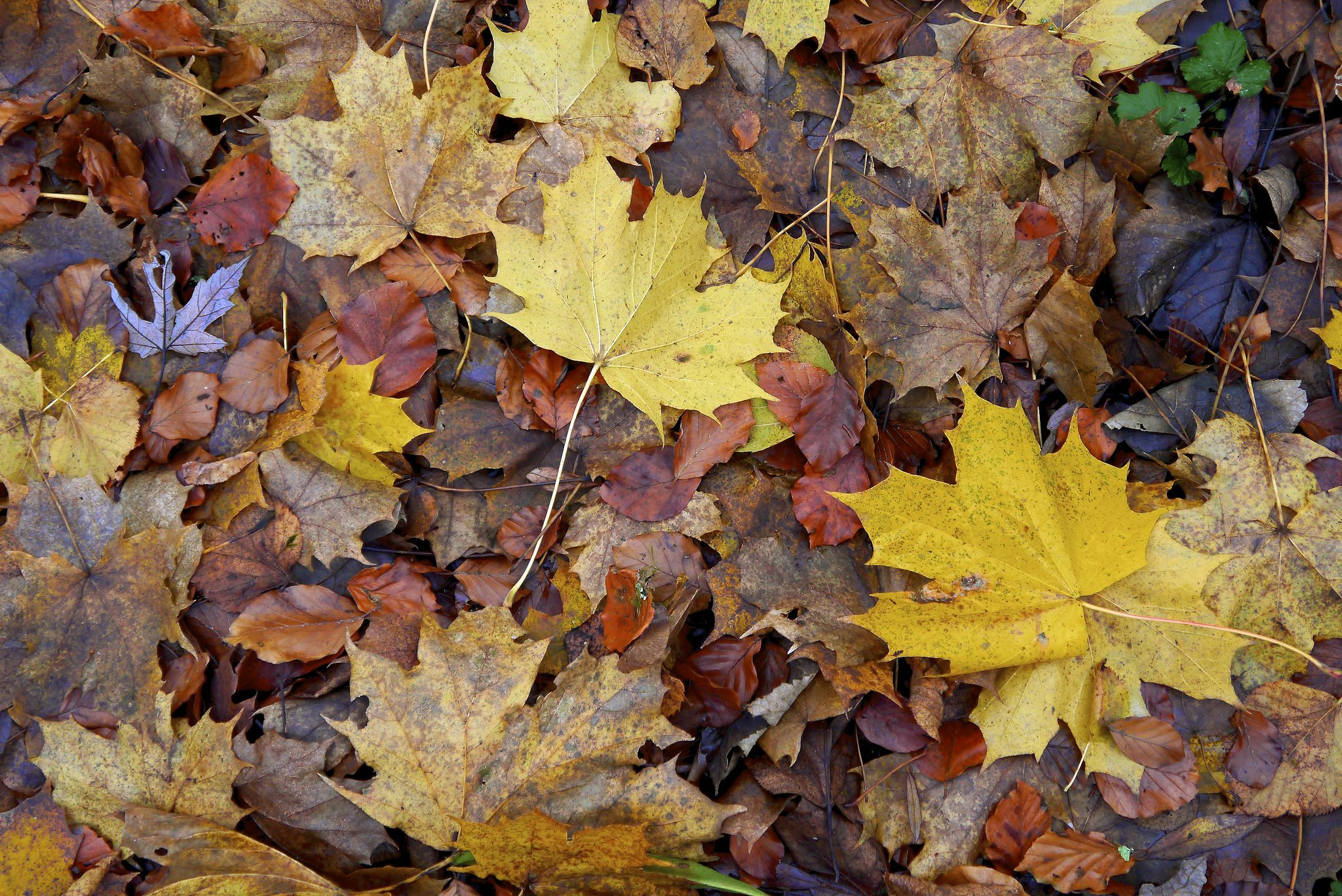Climate change is making leaves fall sooner and store less carbon. Here's why
