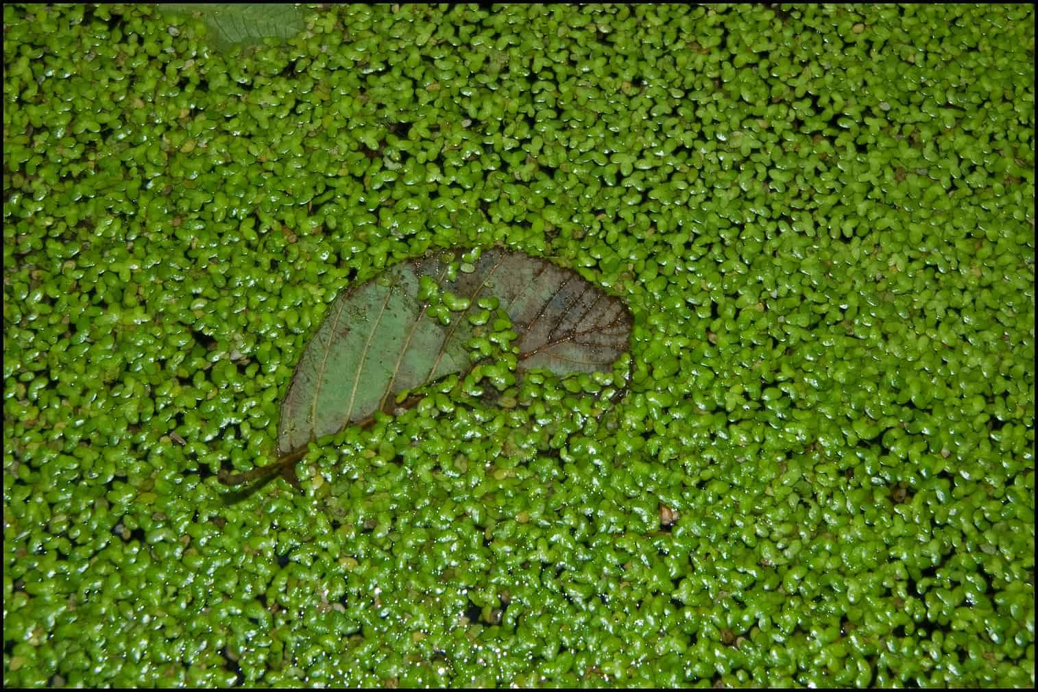 Duckweed is the fastest growing plant in the world.  Now we know why
