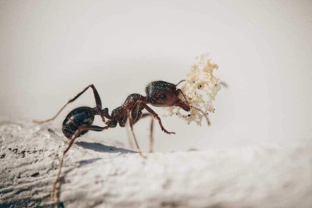Close-in of an ant carrying something, probably a crumb of bread.