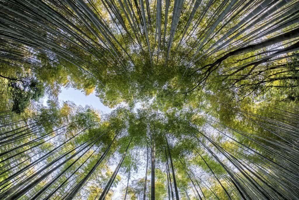 Bamboo forest canopy.