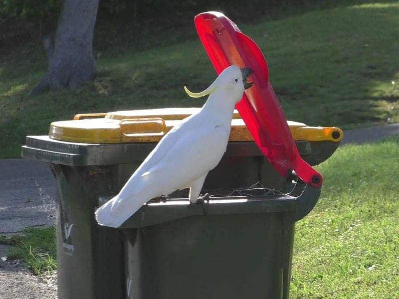 Some parrots have begun to attack trash cans in Australia.Then they taught their friends how
