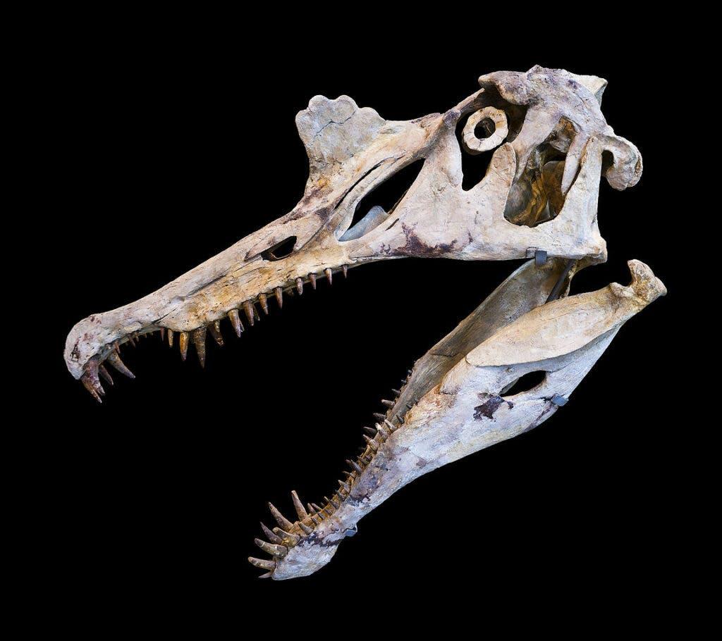 Spinosaurus skull reconstruction.
